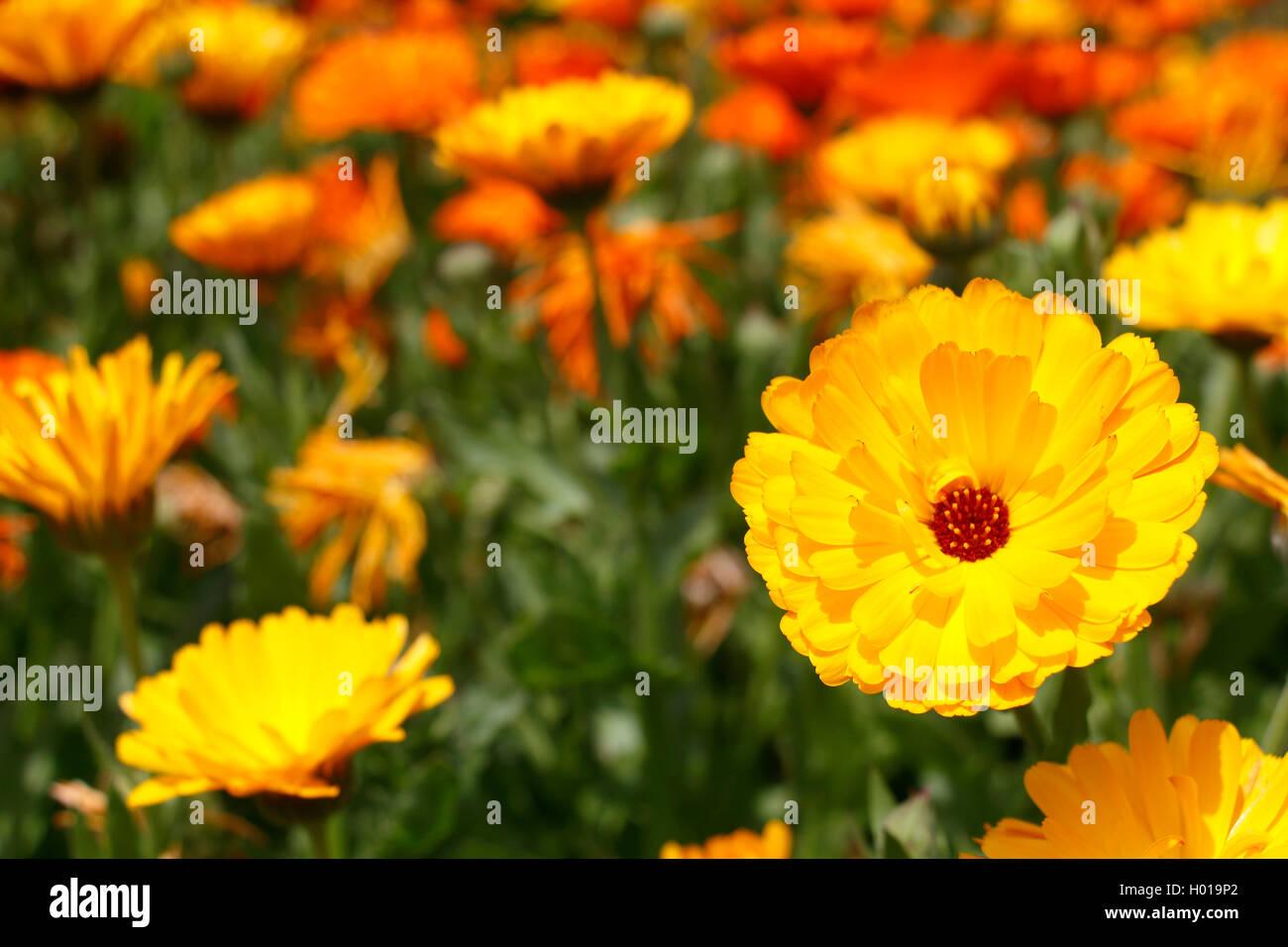 garden-pot marigold (Calendula officinalis), booming plants Stock Photo