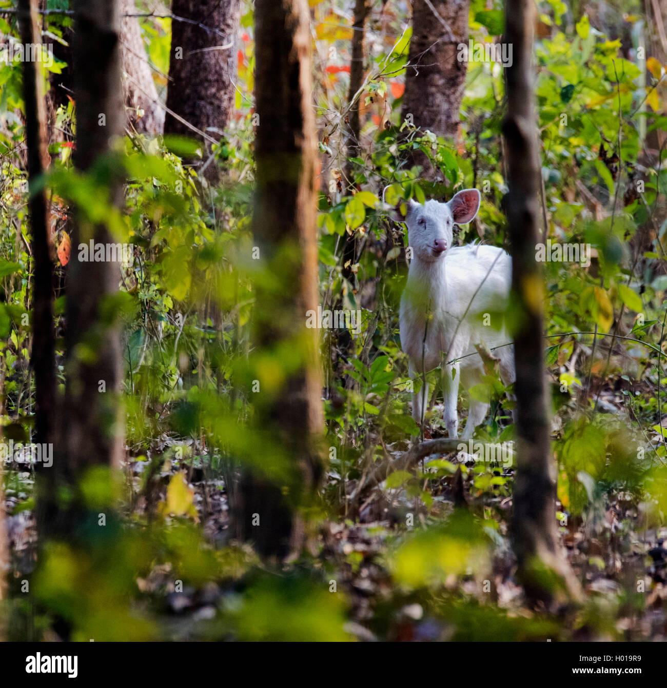 Schweinshirsch, Schweins-Hirsch (Axis porcinus, Hyelaphus porcinus), im Wald, Indien, Assam, Kaziranga Nationalpark Stock Photo
