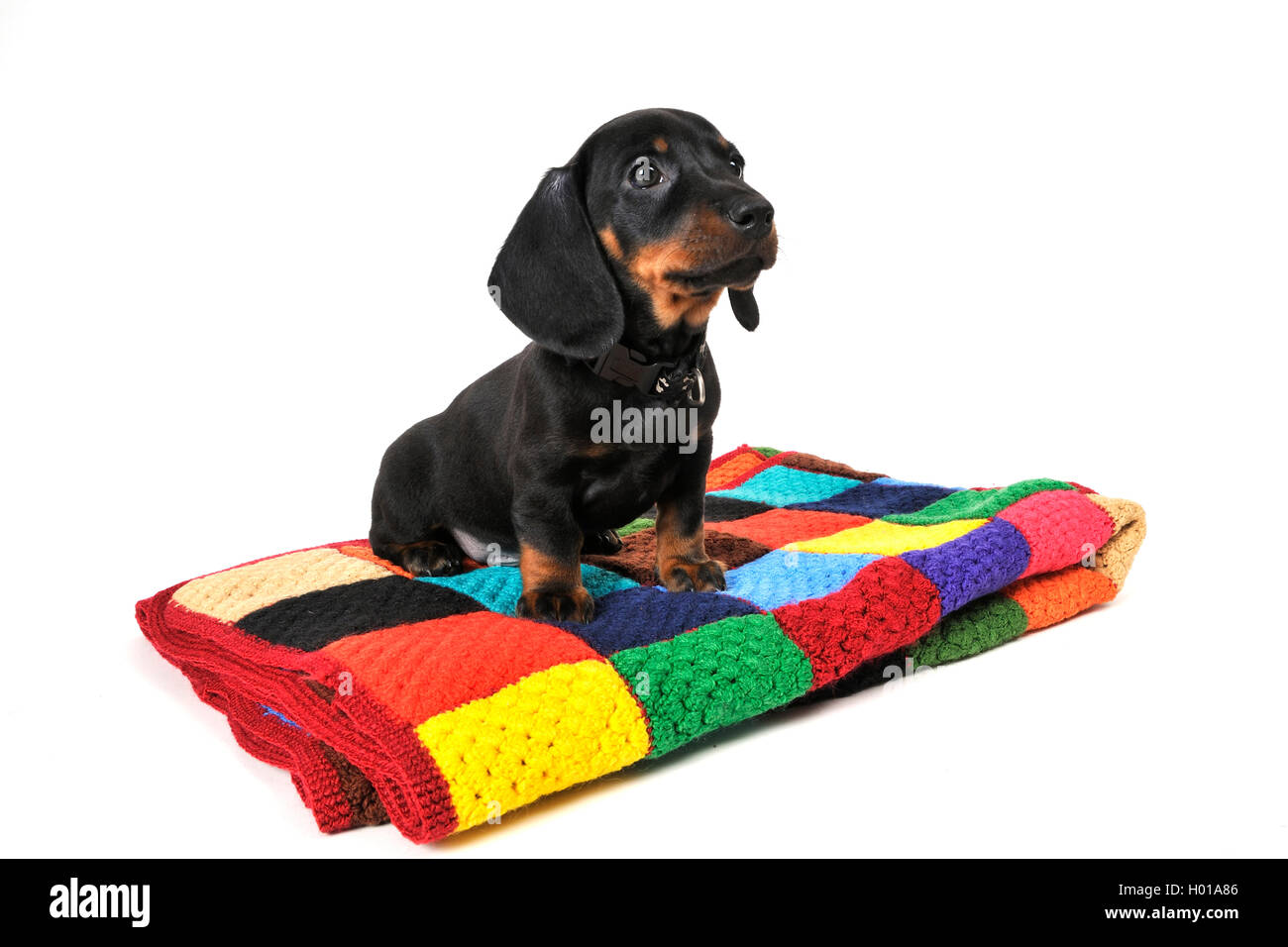 Short-haired Dachshund, Short-haired sausage dog, domestic dog (Canis lupus f. familiaris), dark-haired puppy sitting Stock Photo