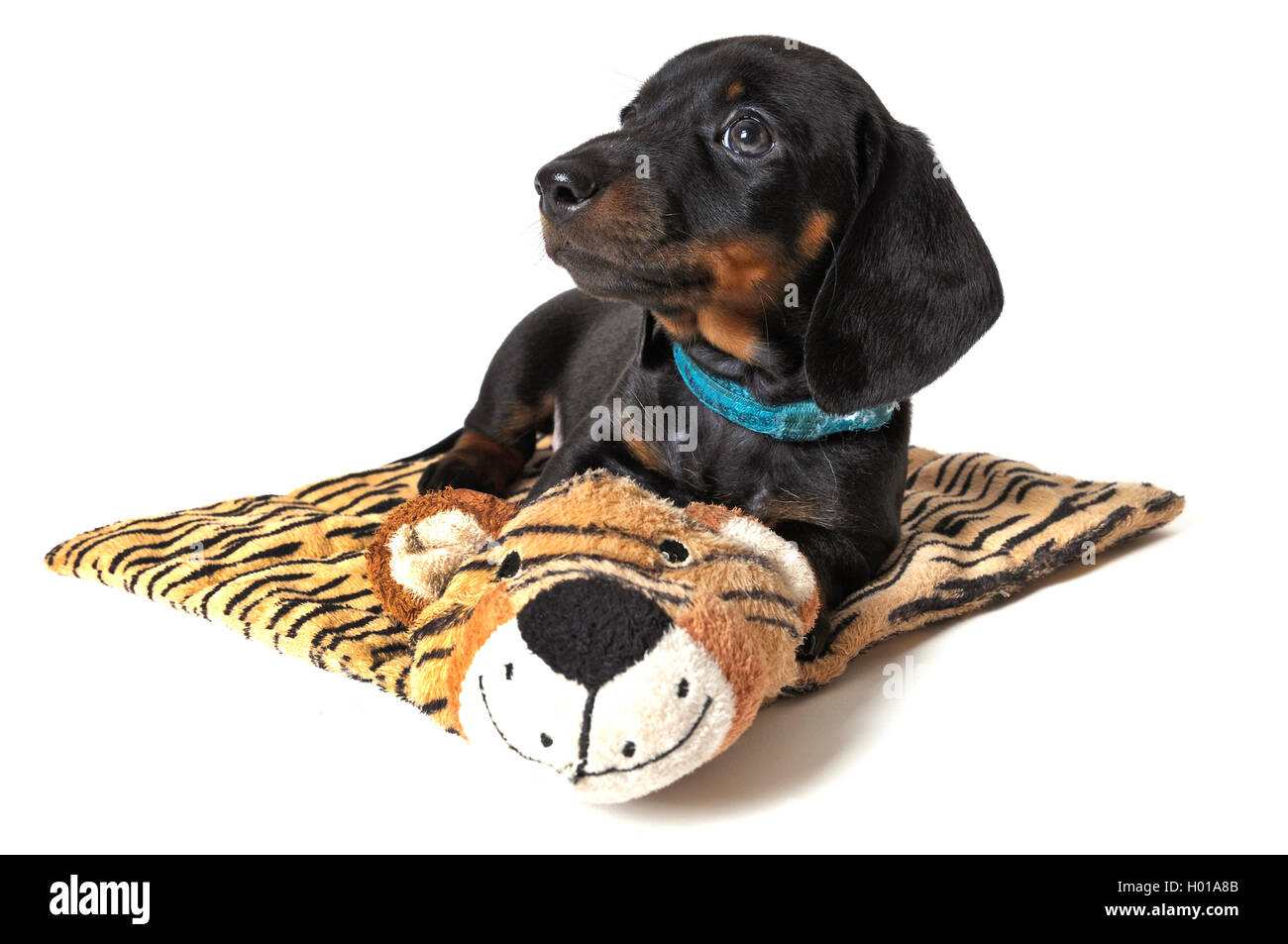 Short-haired Dachshund, Short-haired sausage dog, domestic dog (Canis lupus f. familiaris), puppy lying on a tiger Stock Photo