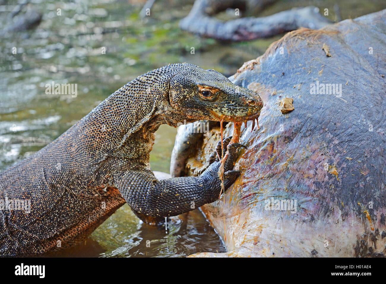 Komodo-Waran, Komodo Waran, Komodowaran (Varanus komodoensis), frisst am Kadaver eines im Flachwasser verendeten - Stock Image
