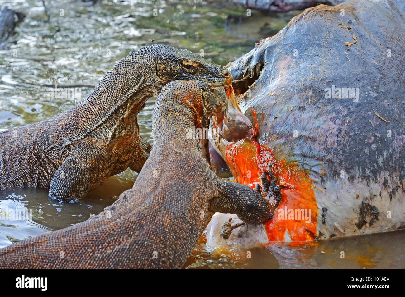 Komodo-Waran, Komodo Waran, Komodowaran (Varanus komodoensis), zwei Komodowarane fressen am Kadaver eines im Flachwasser - Stock Image