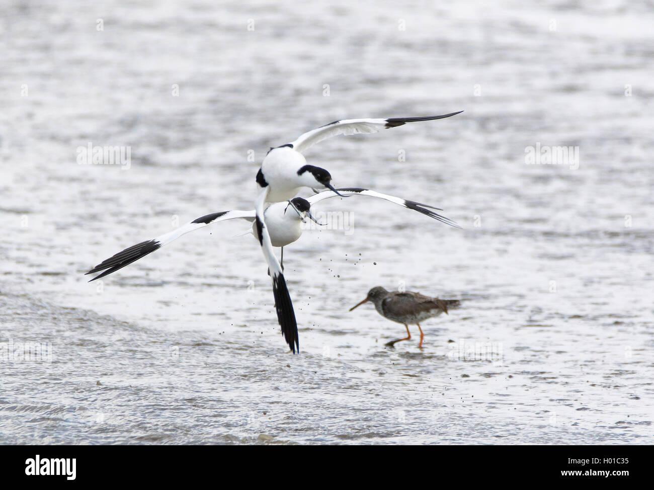 Saebelschnaebler (Recurvirostra avosetta), im Kampf, Deutschland, Schleswig-Holstein, Nordfriesland, Hallig Hooge - Stock Image