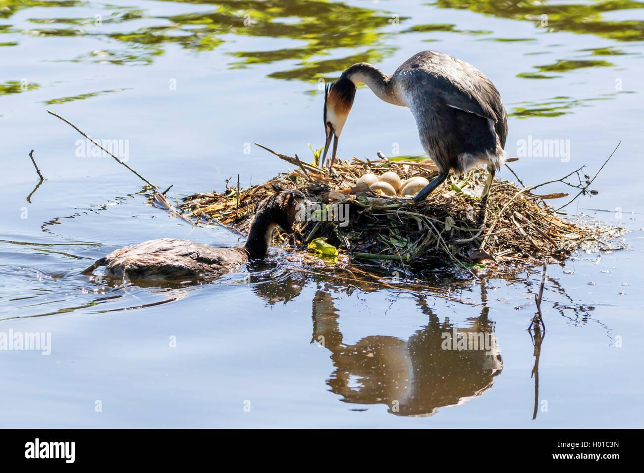 Haubentaucher, Hauben-Taucher (Podiceps cristatus), am Nest mit Eiern, Deutschland   great crested grebe (Podiceps - Stock Image