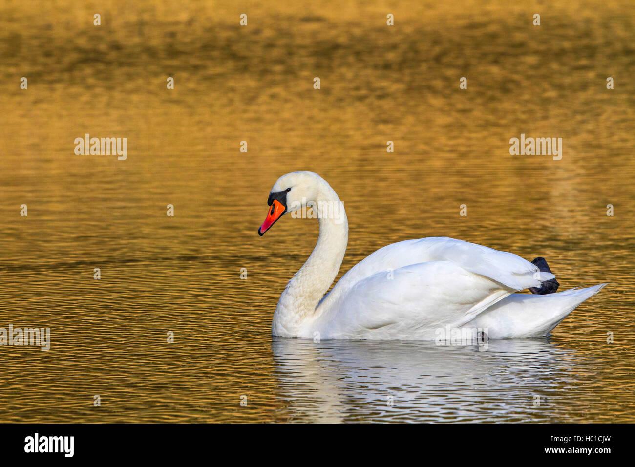 Hoeckerschwan, Hoecker-Schwan (Cygnus olor), im Morgenlicht, Deutschland, Nordrhein-Westfalen | mute swan (Cygnus - Stock Image