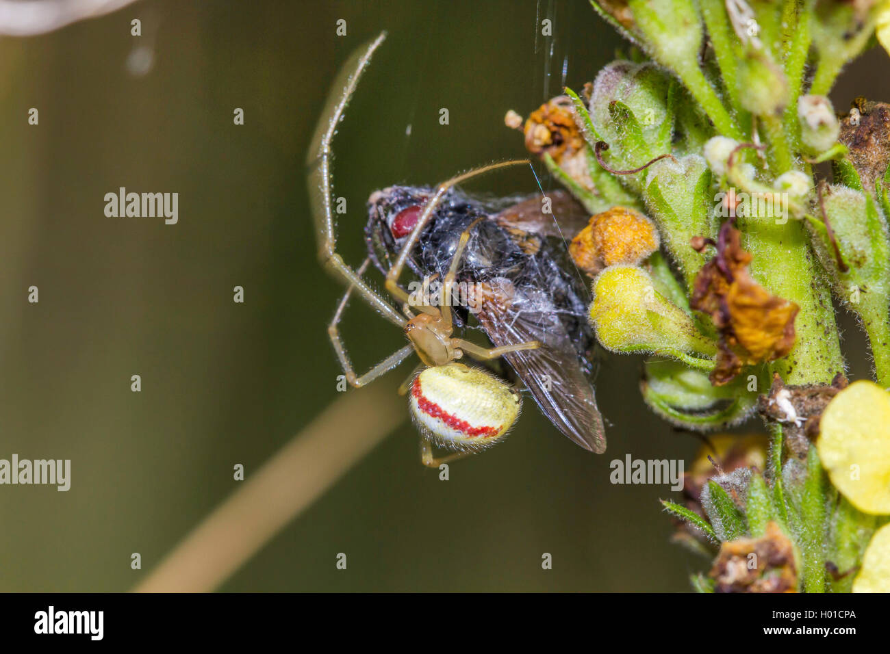 Rotweiss-Spinne, Rotweissspinne, Rotgestreifte Kugelspinne (Enoplognatha ovata, Enoplognatha lineata, Theridion - Stock Image