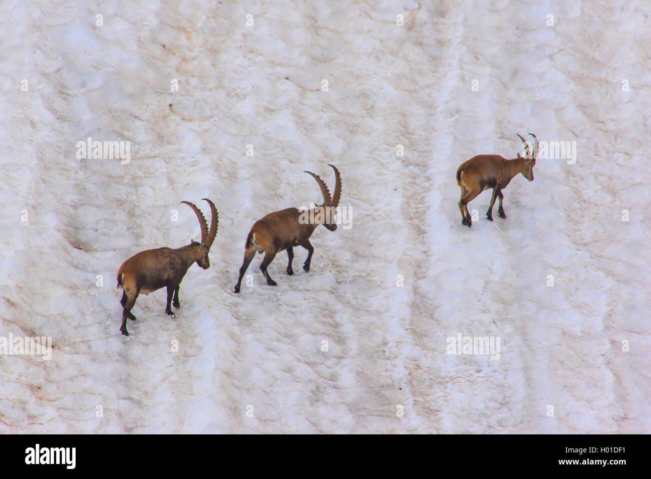 Alpen-Steinbock, Alpensteinbock (Capra ibex, Capra ibex ibex), Drei Alpensteinboecke queren ein steiles altes Schneefeld, - Stock Image
