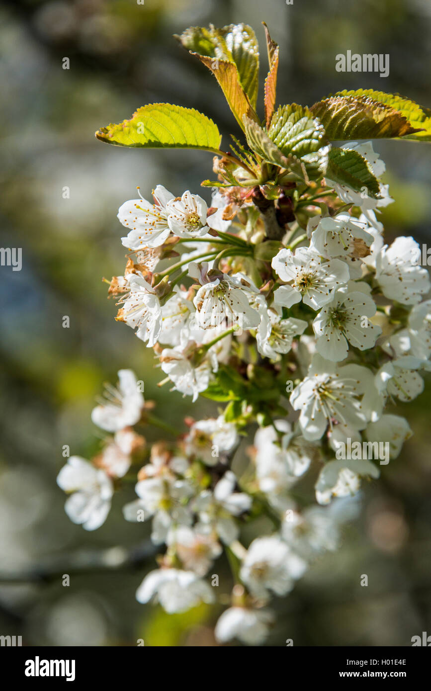 Flowers on a hawthorn tree (Crataegus monogyna) - Stock Image