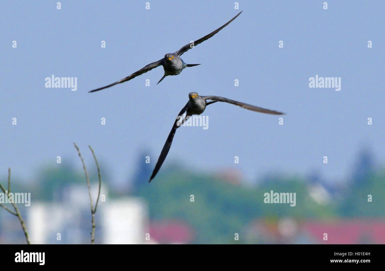 Kuckuck (Cuculus canorus), zwei Kuckucke fliegen, Deutschland | Eurasian cuckoo (Cuculus canorus), two cuckoos in - Stock Image
