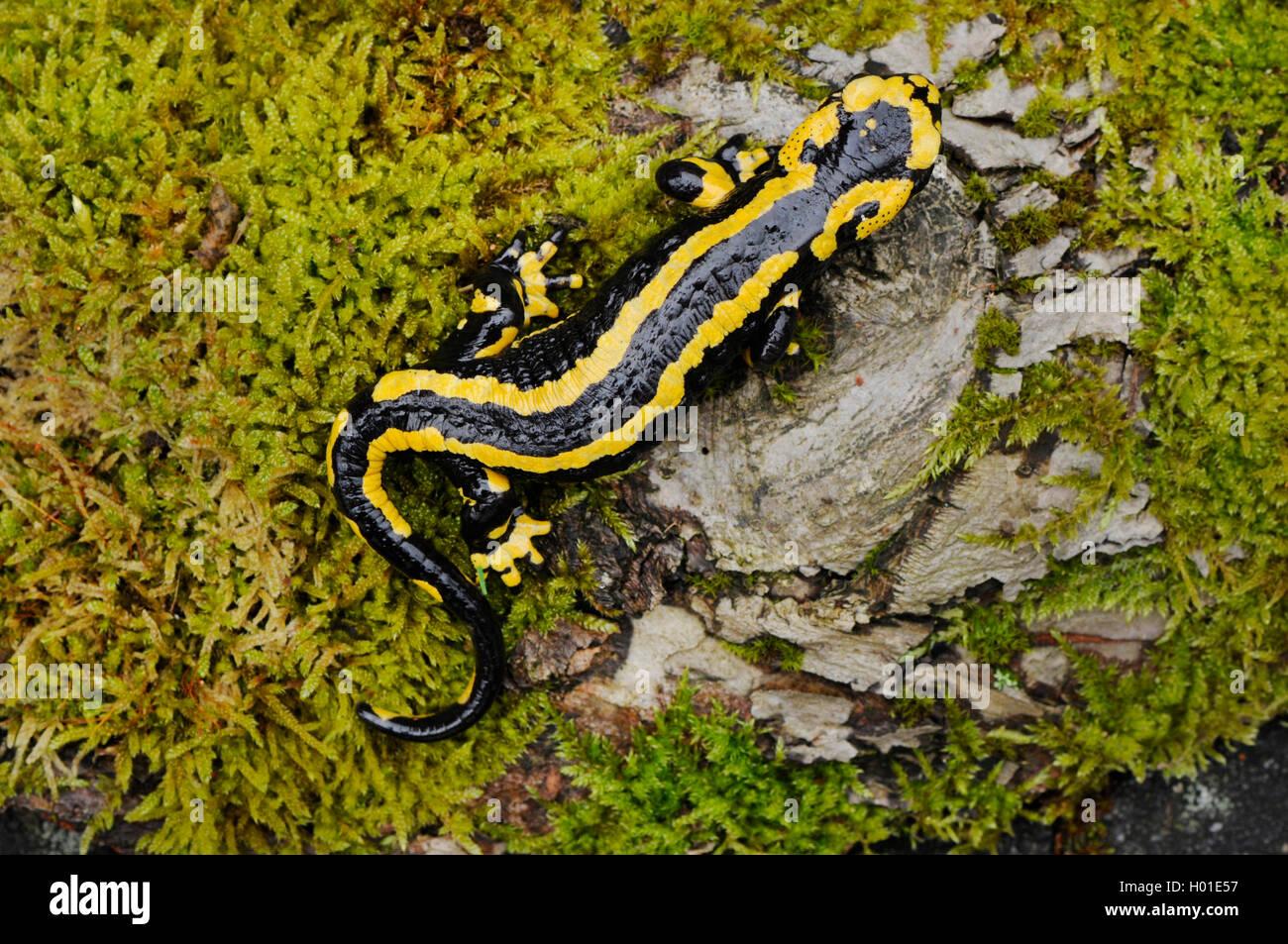 Feuersalamander (Salamandra salamandra), auf bemoostem Stein, Deutschland, Rheinland-Pfalz | European fire salamander - Stock Image