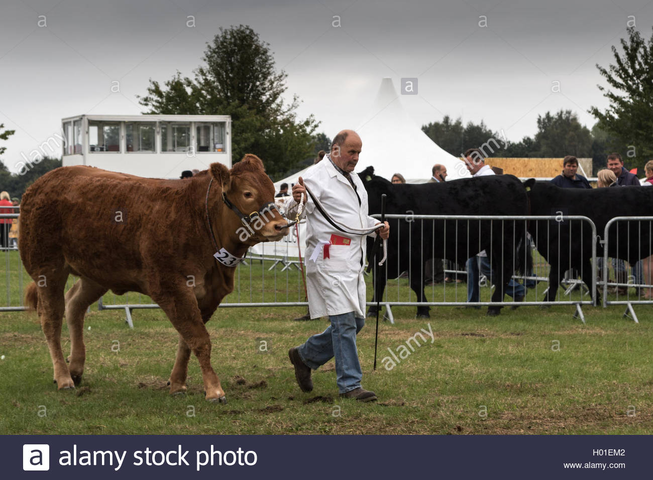 A successful competitor, award in his pocket, leads his South Devon heifer from the show ring at the Royal Berkshire - Stock Image