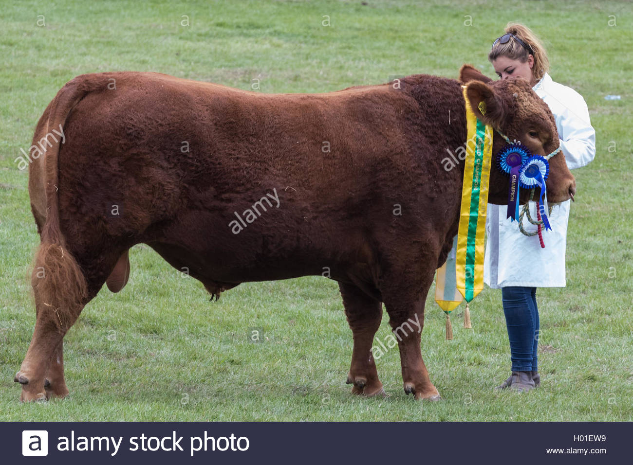 A South Devon bull, breed champion in the show ring at the Royal Berkshire County Show with a young handler. - Stock Image