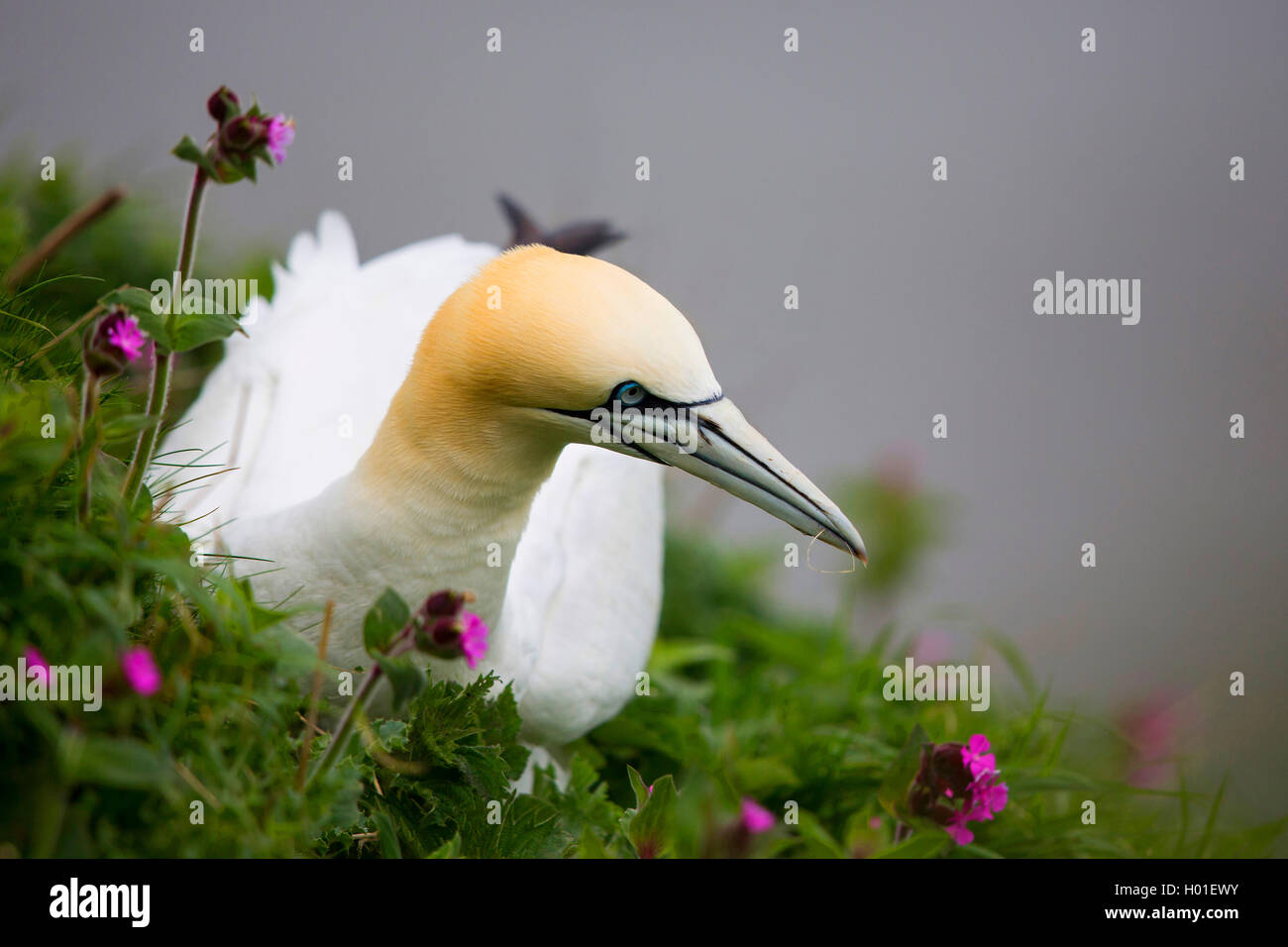 northern gannet (Sula bassana, Morus bassanus), between blooming red campions, United Kingdom, Scotland Stock Photo