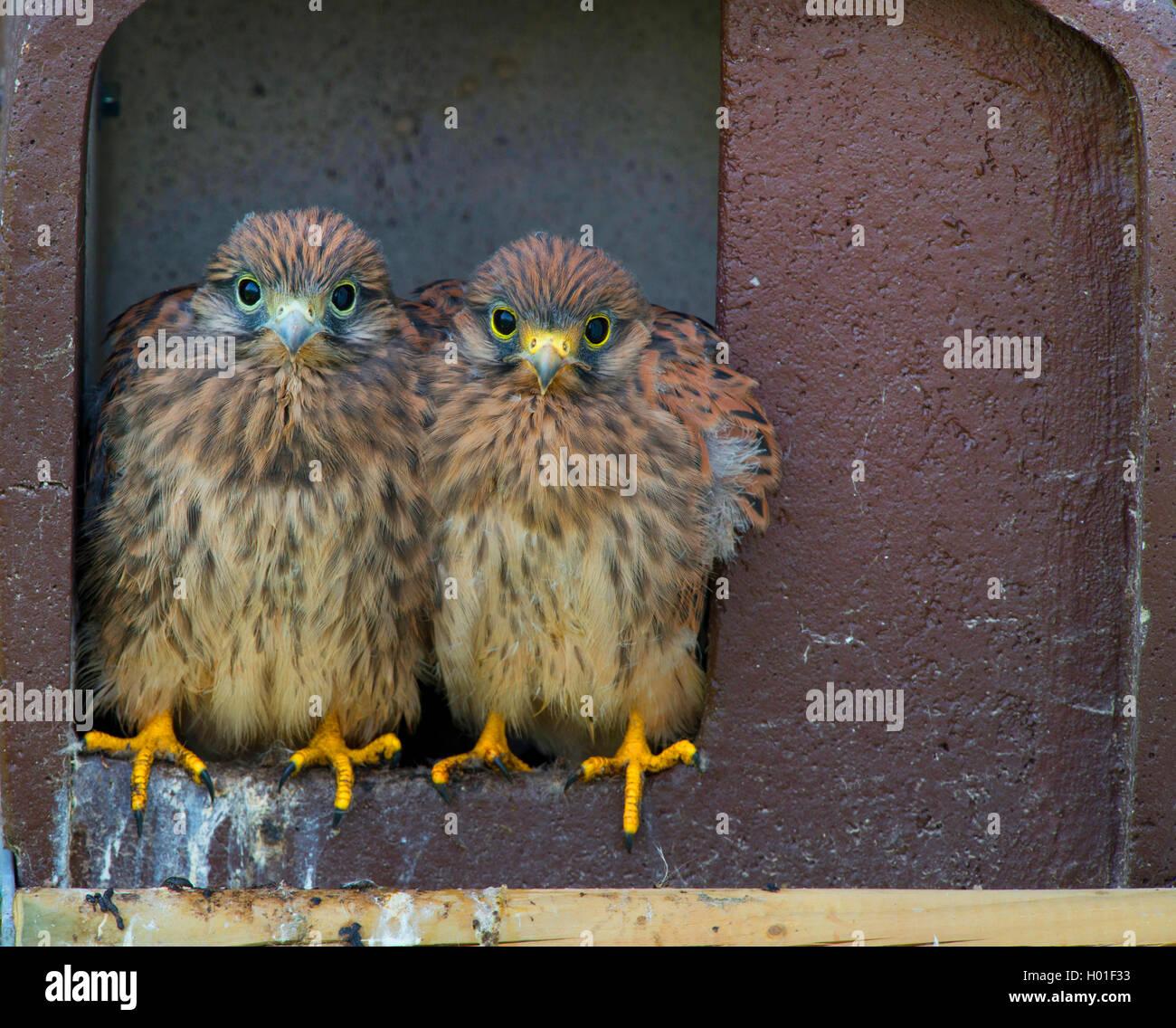 Turmfalke, Turm-Falke (Falco tinnunculus), zwei Vogelkinder sitzen zusammen im Nistkasten, Vorderansicht, Deutschland, - Stock Image