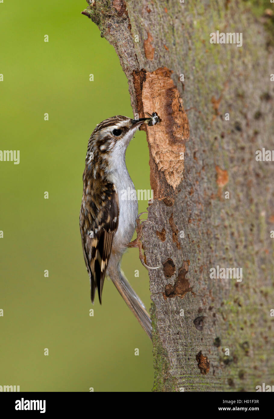 common treecreeper (Certhia familiaris), at a nesting hole with an insect in the bill, side view, Germany Stock Photo