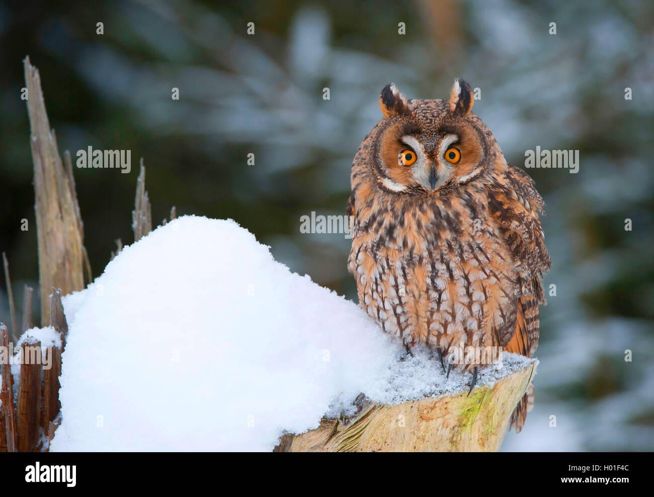 long-eared owl (Asio otus), sitting on a snow-covered tree stump, Germany, Bavaria Stock Photo