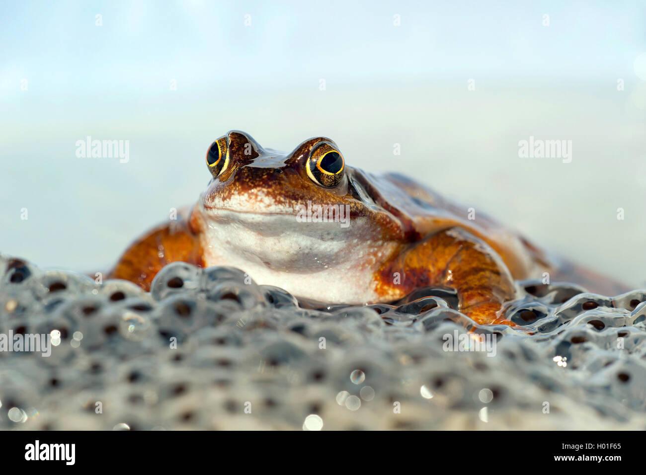 Grasfrosch, Gras-Frosch (Rana temporaria), mit Froschlaich, Deutschland | common frog, grass frog (Rana temporaria), - Stock Image
