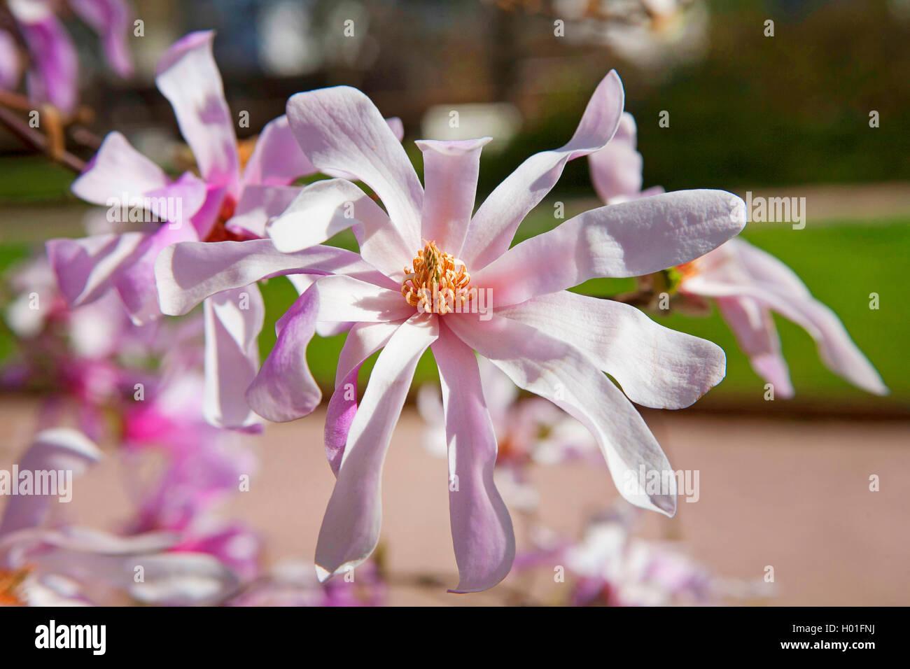 star magnolia (Magnolia stellata 'Leonard Messel', Magnolia stellata Leonard Messel), cultivar Leonard Messel Stock Photo