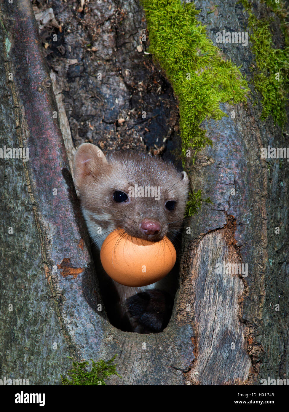 Beech marten, Stone marten, White breasted marten (Martes foina), mit hen's egg in its mouth, Germany Stock Photo