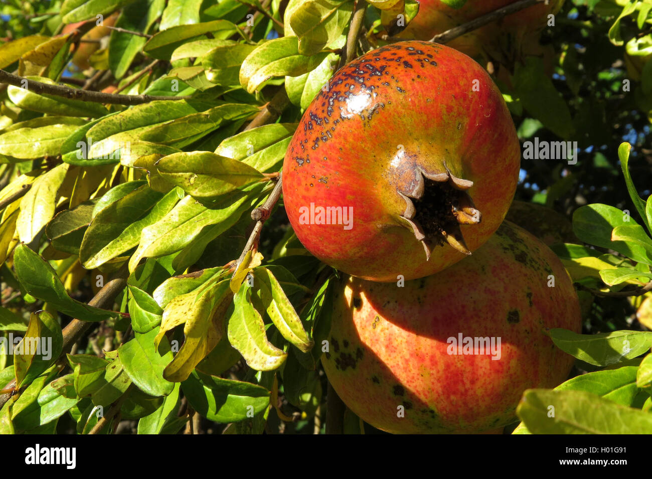 Granatapfel, Granat-Apfel (Punica granatum), Granataepfel am Baum, Spanien | pomegranate, anar (Punica granatum), - Stock Image