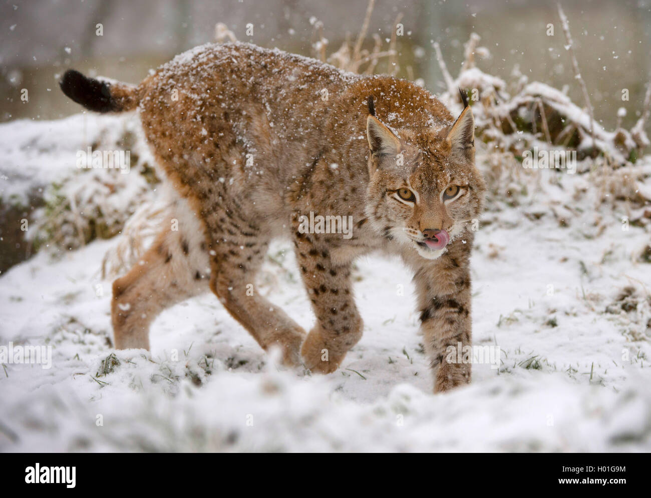 Eurasian lynx (Lynx lynx), in winter, Germany, Bavaria, Bavarian Forest National Park Stock Photo