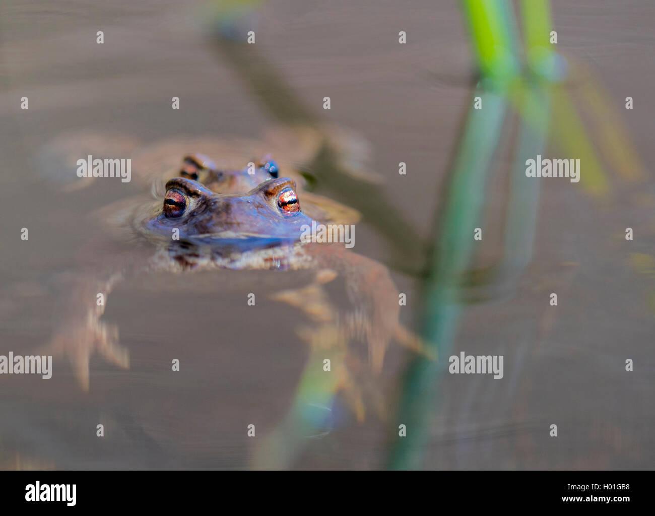 Erdkroete, Erd-Kroete (Bufo bufo), Paar an der Wasseroberflaeche, Norwegen | European common toad (Bufo bufo), couple Stock Photo