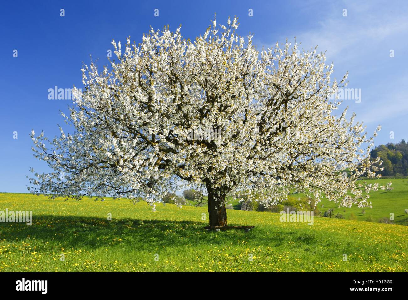 suess kirsche suesskirsche kirschbaum kirsch baum prunus avium stock photo 120507520 alamy. Black Bedroom Furniture Sets. Home Design Ideas