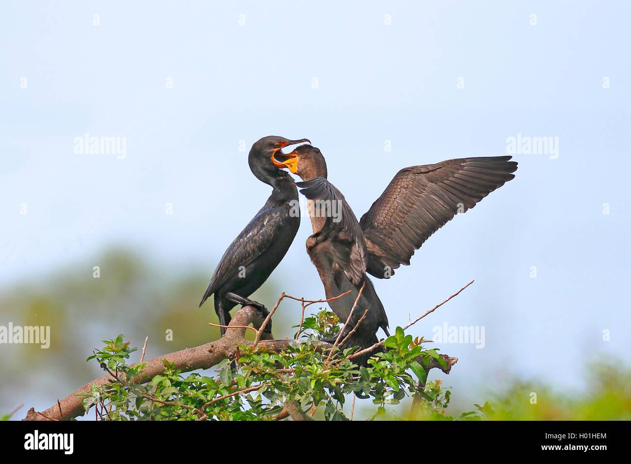 Ohrenscharbe, Ohren-Scharbe (Phalacrocorax auritus), Altvogel fuettert Jungvogel, USA, Florida, Venice | double - Stock Image