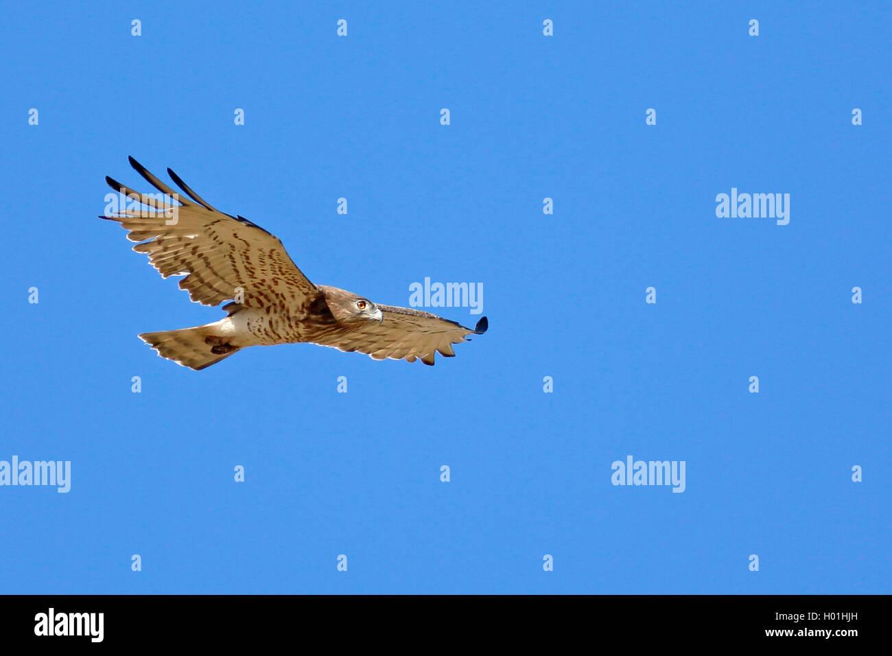 Schlangenadler, Schlangen-Adler (Circaetus gallicus), segelnd, fliegend, Griechenland, Lesbos | short-toed eagle Stock Photo