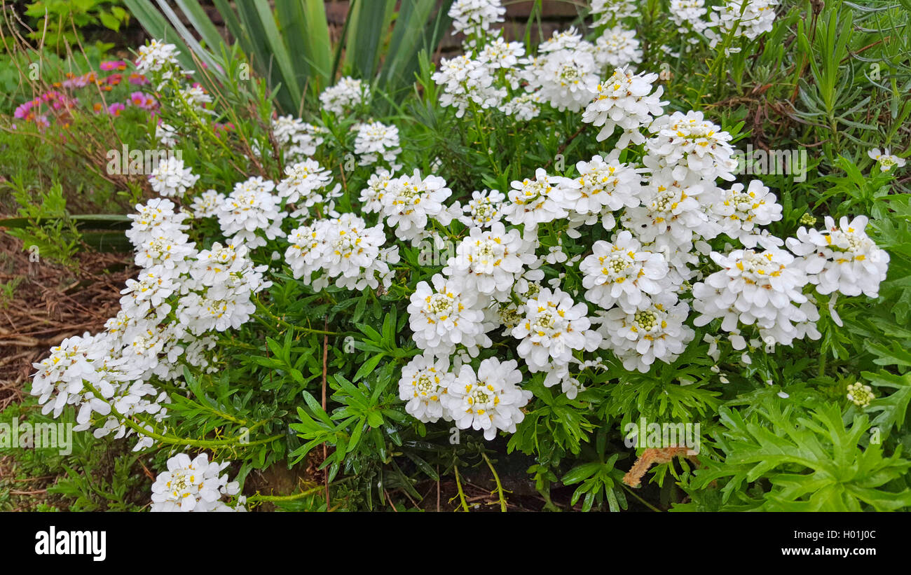 Wild candytuft, Bitter candytuft (Iberis amara), blooming in a flowerbed, Germany Stock Photo