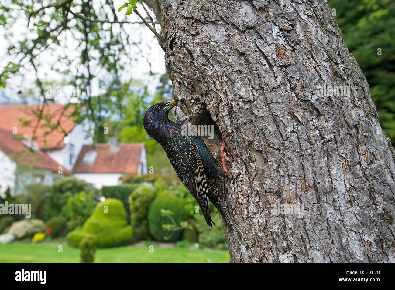 Star (Sturnus vulgaris), an seiner Bruthoehle mit Futter im Schnabel, Deutschland, NRW | common starling (Sturnus - Stock Image