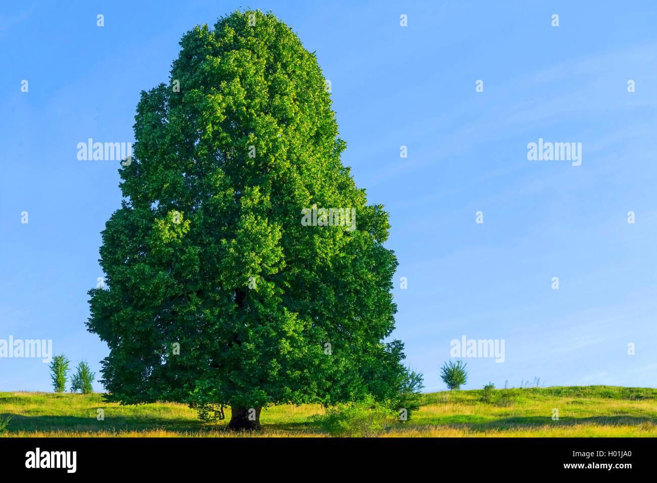 Linde (Tilia spec.), einzeln stehender Lindenbaum, Deutschland, Bayern, Oberbayern | basswood, linden, lime tree - Stock Image