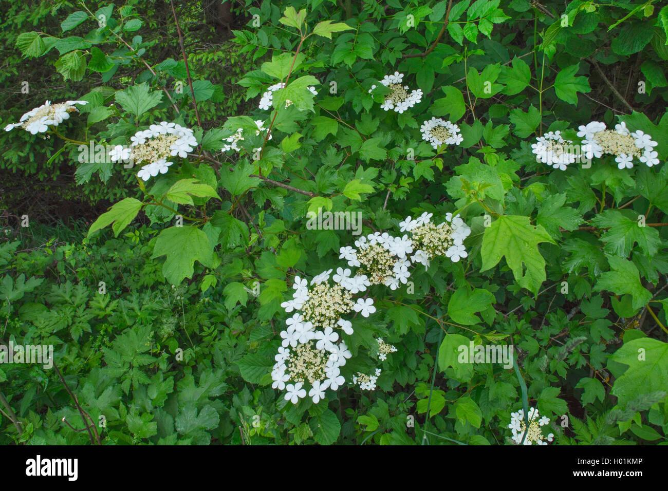 Gemeiner Schneeball, Gewoehnlicher Schneeball (Viburnum opulus), bluehend, Deutschland, Bayern, Oberbayern | guelder-rose viburn Stock Photo