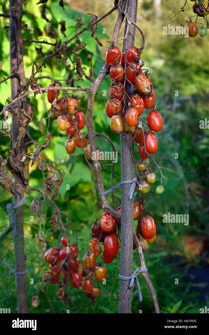 Potato Blight Stock Photos & Potato Blight Stock Images - Alamy
