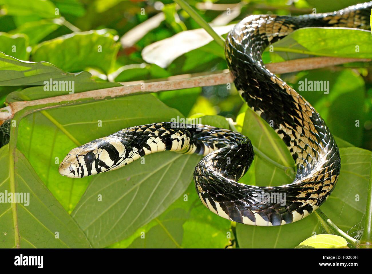 Huehneresser, Huehnerfresser (Spilotes pullatus), Portraet, Costa Rica | Tropical chicken snake, Tiger Ratsnake - Stock Image