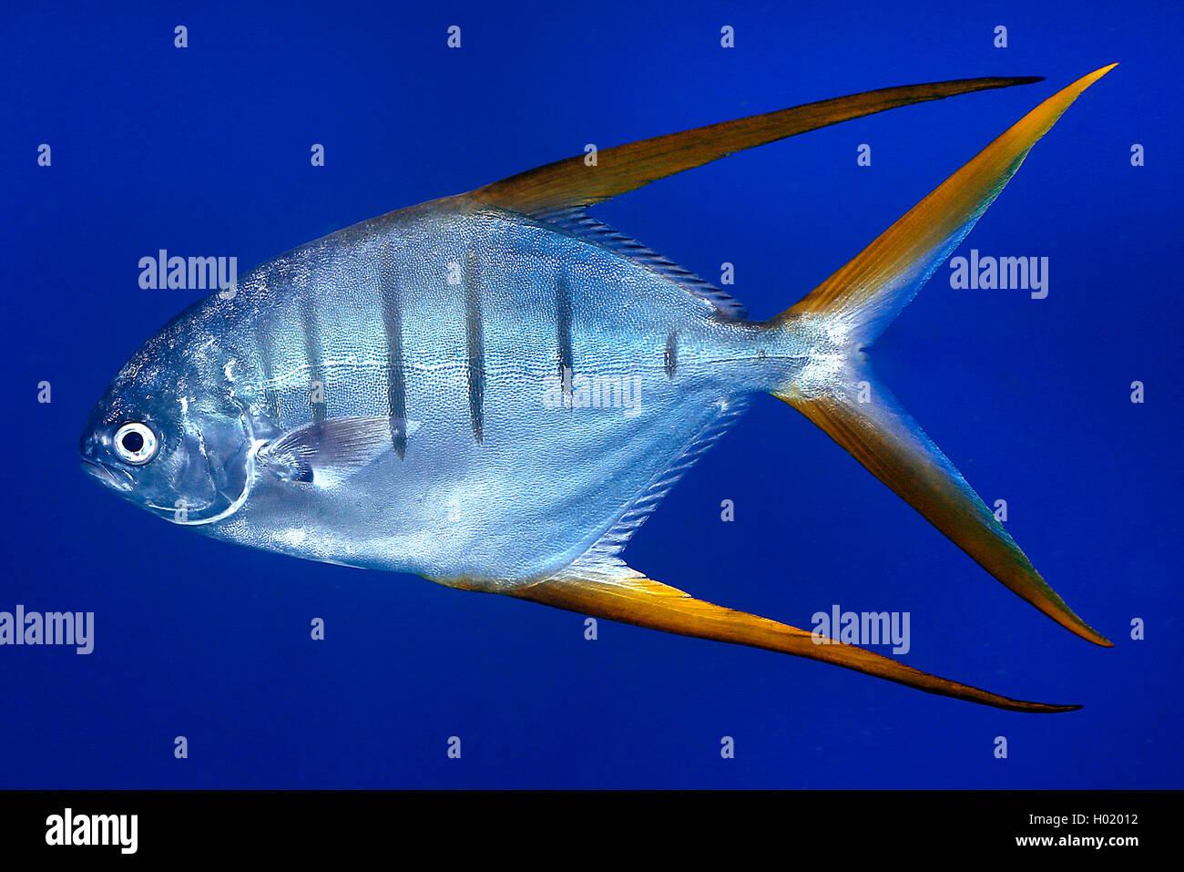 Stachelmakrele, Stachel-Makrele, Trachinotus rhodopus (Trachinotus rhodopus), schwimmend, Costa Rica | Gafftopsail - Stock Image