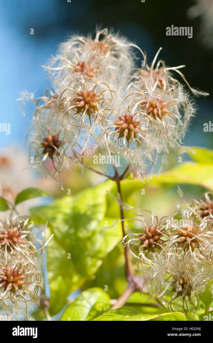 Gemeine Waldrebe, Gewoehnliche Waldrebe (Clematis vitalba), fruchtend, Deutschland | Travelers Joy, Old Man's - Stock Image