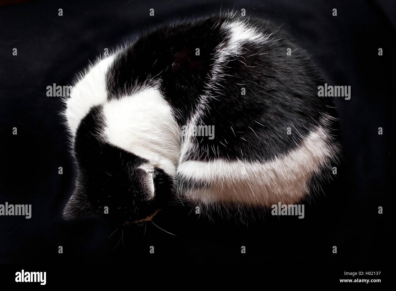 Hauskatze, Haus-Katze (Felis silvestris f. catus), zusammengerollte schwarzweisse Hauskatze | domestic cat, house - Stock Image