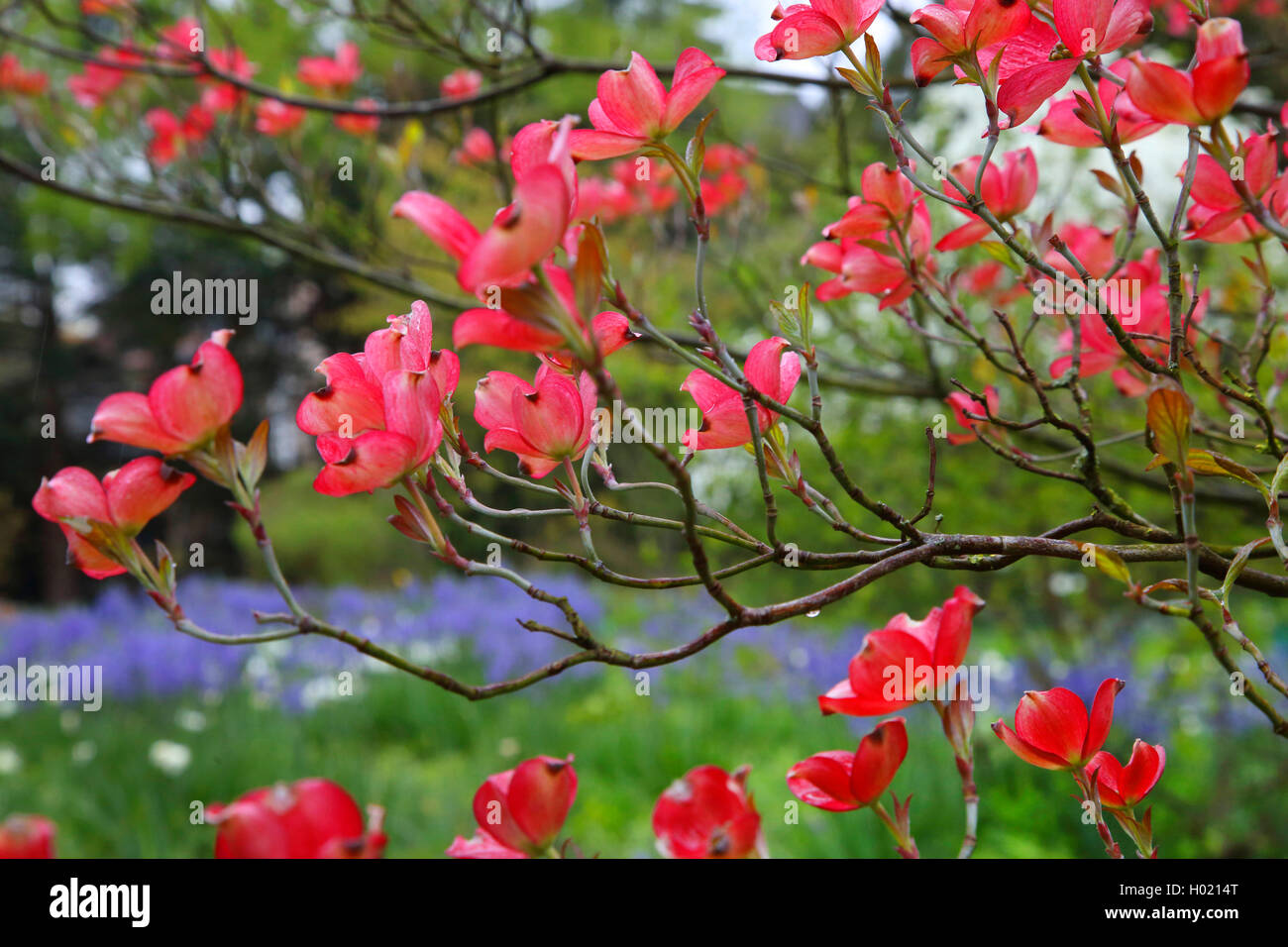 Blumenhartriegel Blumen Hartriegel Amerikanischer Blumenhartriegel