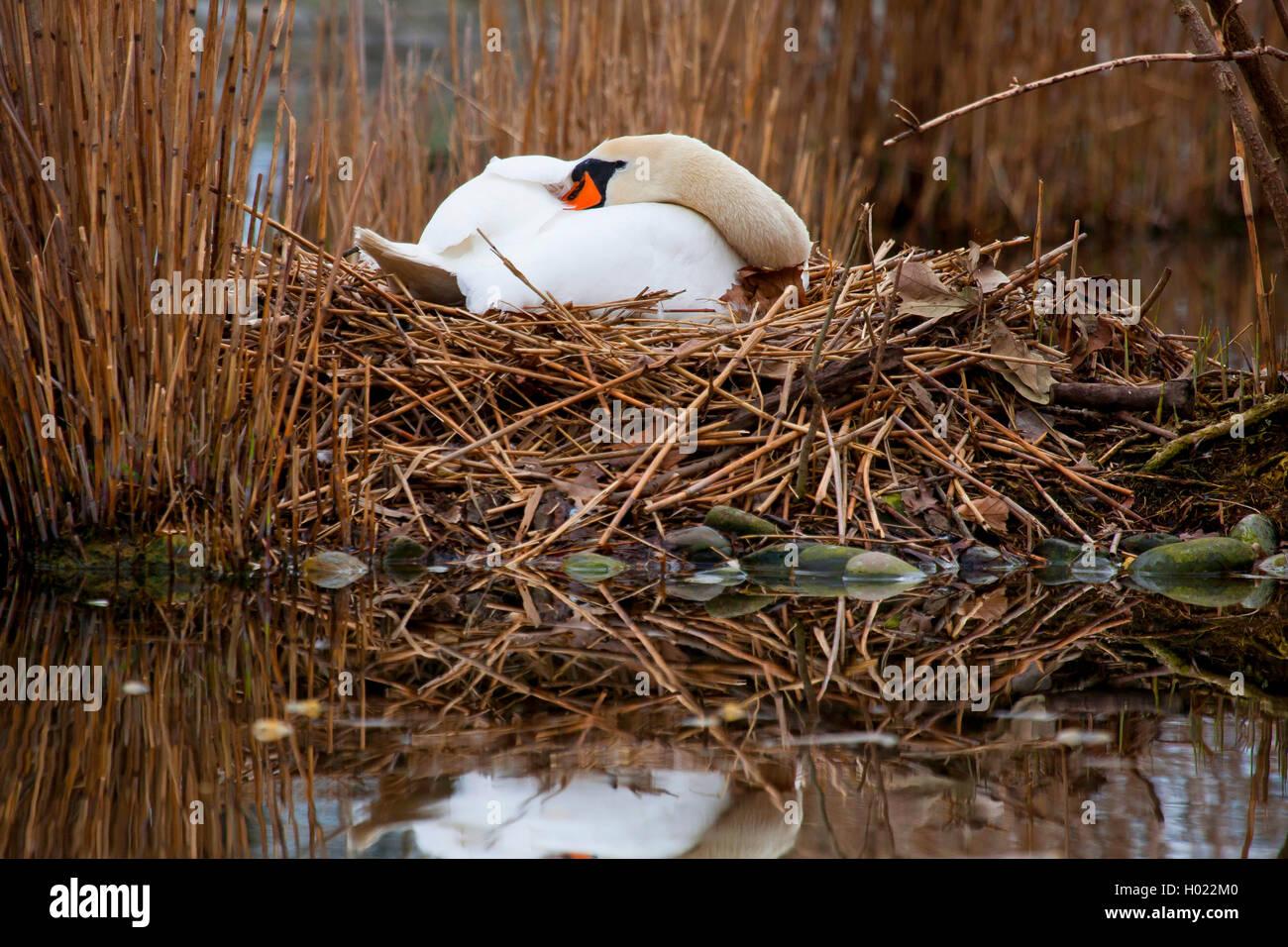 Hoeckerschwan, Hoecker-Schwan (Cygnus olor), bruetet auf dem Nest, Seitenansicht, Deutschland, Baden-Wuerttemberg - Stock Image