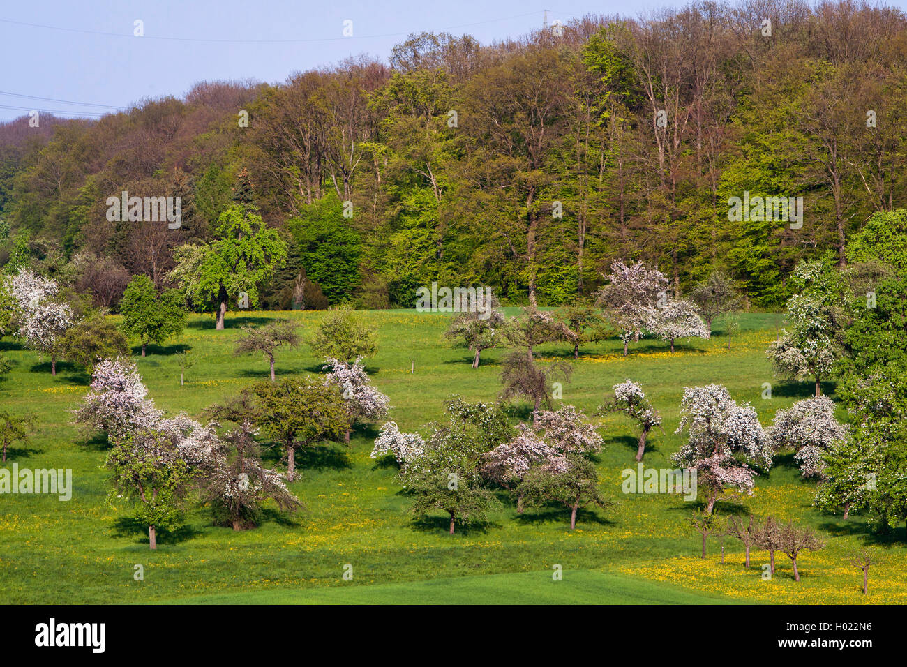 apple tree (Malus domestica), fruit tree meadow with blooming apple trees near Notzingen, Germany, Baden-Wuerttemberg Stock Photo