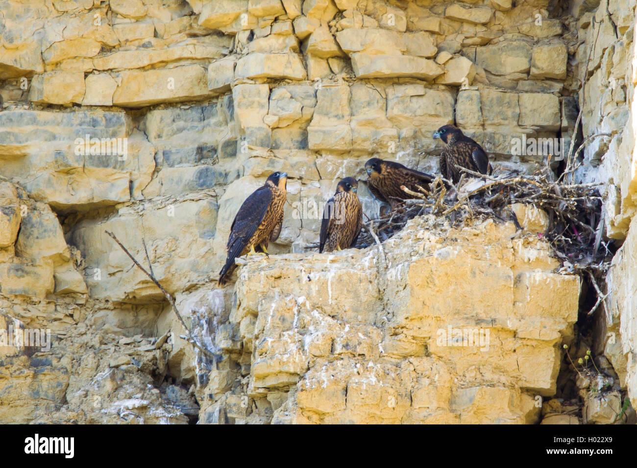 Wanderfalke, Wander-Falke (Falco peregrinus), Junge im Horst, Deutschland   peregrine falcon (Falco peregrinus), - Stock Image