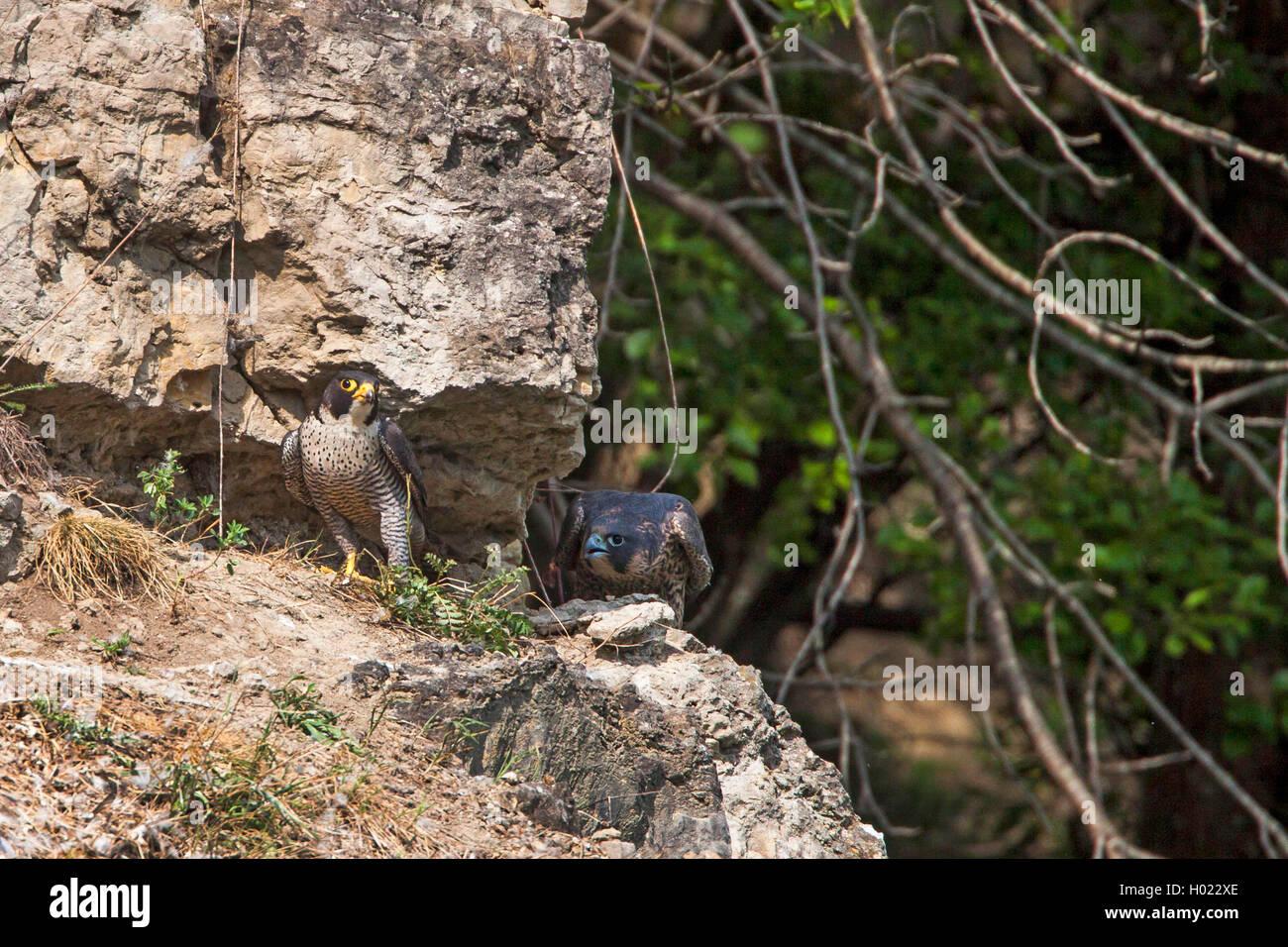 Wanderfalke, Wander-Falke (Falco peregrinus), Junge im Horstbereich, Deutschland | peregrine falcon (Falco peregrinus), - Stock Image