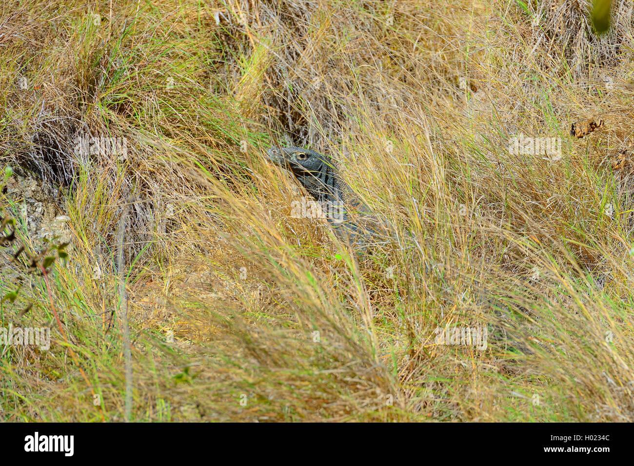 Komodo-Waran, Komodo Waran, Komodowaran (Varanus komodoensis), im Grasland getarnt, Seitenansicht, Indonesien, Rinca, - Stock Image