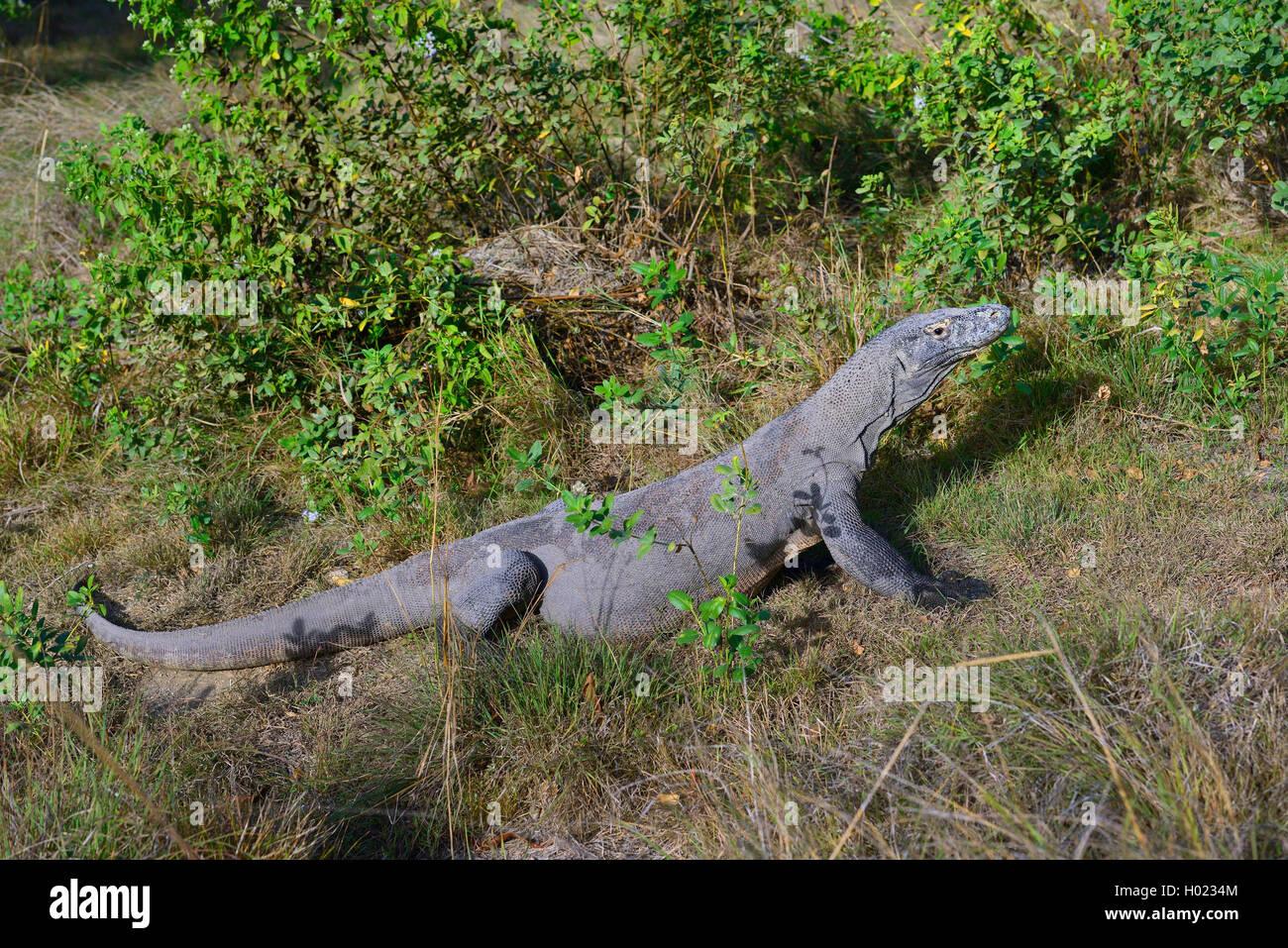 Komodo-Waran, Komodo Waran, Komodowaran (Varanus komodoensis), im Grasland, Seitenansicht, Indonesien, Rinca, Komodo - Stock Image