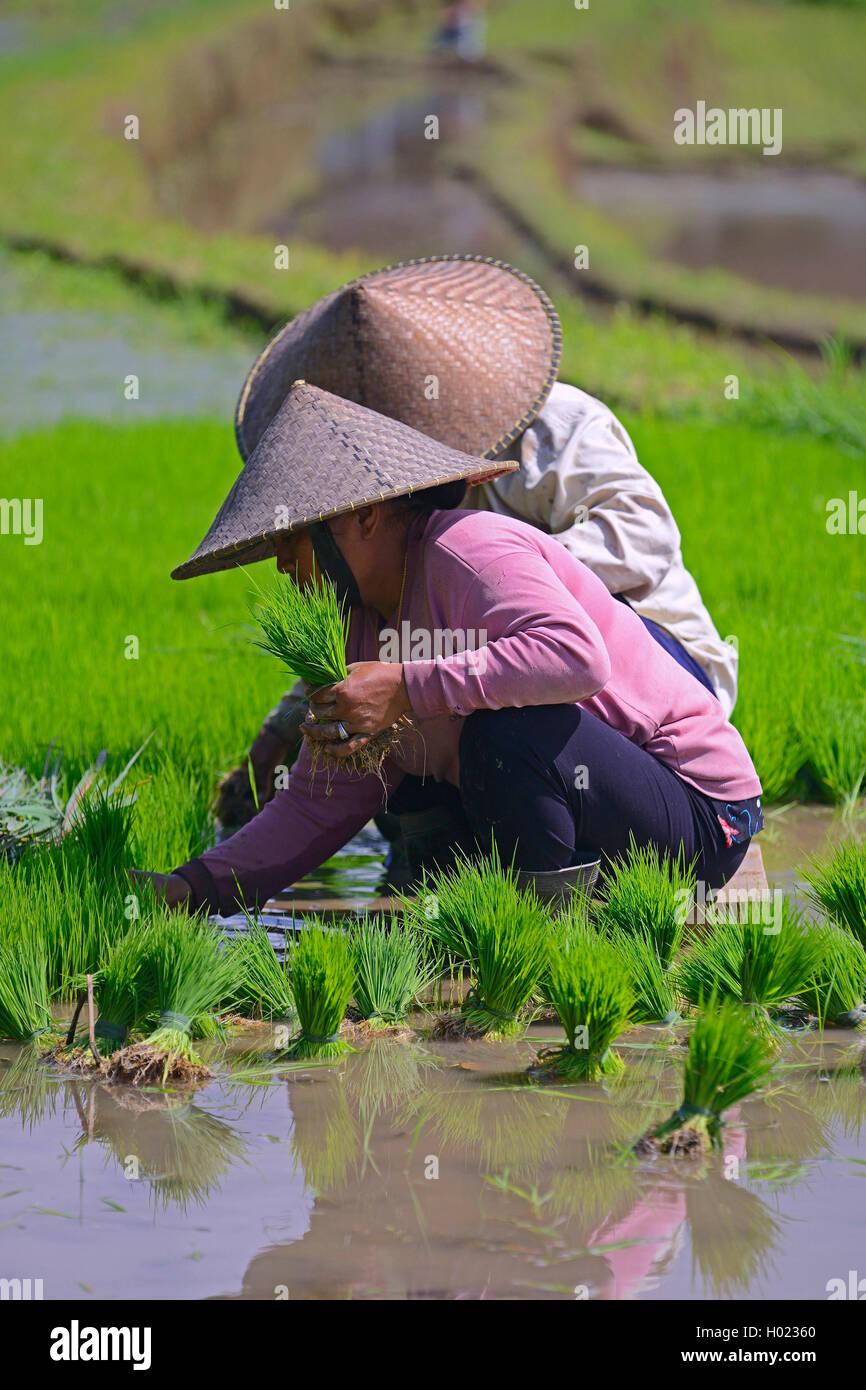 Frauen sortieren Reissetzlinge an den Reisterrassen von Jatiluwih, Indonesien, Bali | women with rice seedlings - Stock Image