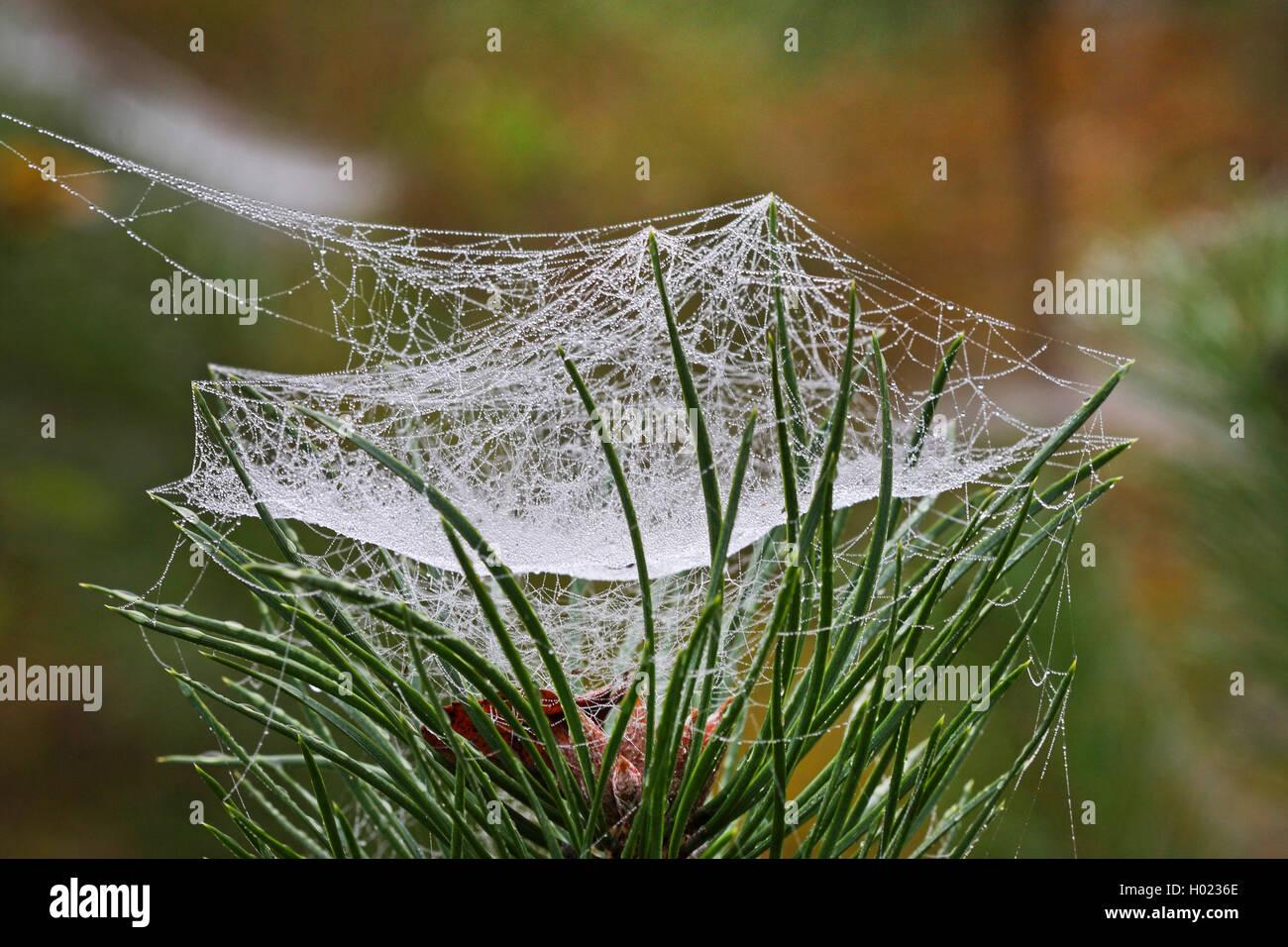 Baldachinspinne, Baldachin-Spinne, Frontinellina frutetorum (Frontinellina frutetorum, Frontinella frutetorum, Linyphia Stock Photo