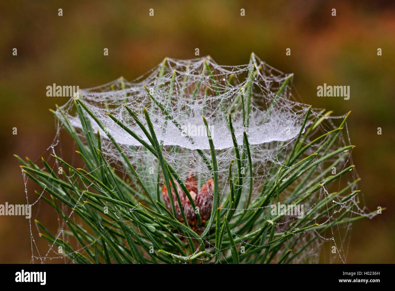 Baldachinspinne, Baldachin-Spinne, Frontinellina frutetorum (Frontinellina frutetorum, Frontinella frutetorum, Linyphia - Stock Image