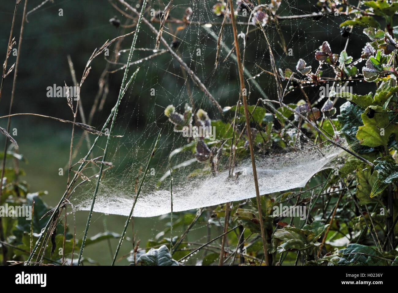 Gemeine Baldachinspinne, Baldachinspinne, Baldachin-Spinne (Linyphia triangularis), Spinnennetz mit Morgentau, Deutschland - Stock Image