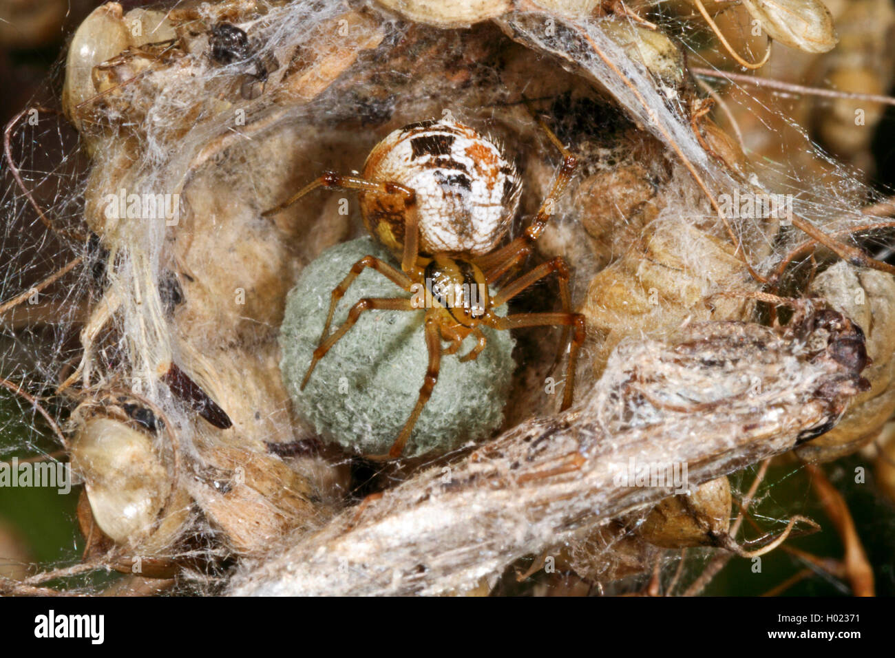 Braune Kugelspinne, Braunweisse Kugelspinne (Theridion impressum, Phylloneta impressa), Weibchen mit Eikokon, Deutschland - Stock Image